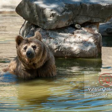 Ours brun de Sibérie / Zoo de Montpellier / Occitanie - Réf : VQA1-19-0014 (Q2)