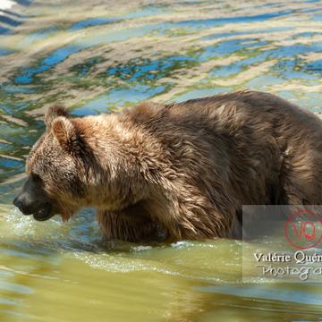 Ours brun de Sibérie / Zoo de Montpellier / Occitanie - Réf : VQA1-19-0015 (Q2)