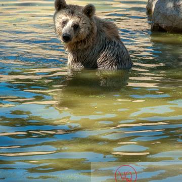 Ours brun de Sibérie / Zoo de Montpellier / Occitanie - Réf : VQA1-19-0018 (Q2)