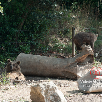 Ours brun de Sibérie et son ourson / Zoo de Montpellier / Occitanie - Réf : VQA1-19-0022 (Q2)