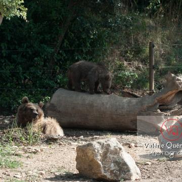 Ours brun de Sibérie et son ourson / Zoo de Montpellier / Occitanie - Réf : VQA1-19-0023 (Q2)