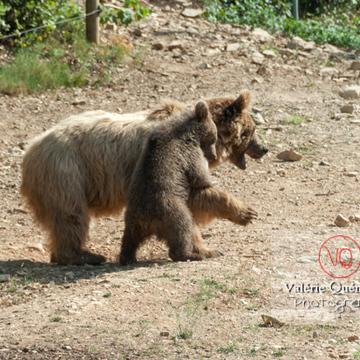 Ours brun de Sibérie et son ourson / Zoo de Montpellier / Occitanie - Réf : VQA1-19-0026 (Q2)