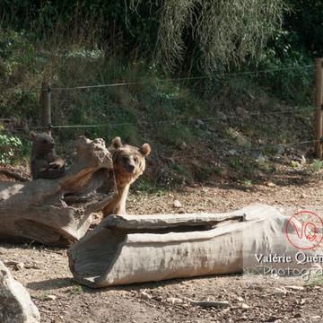 Ours brun de Sibérie et son ourson / Zoo de Montpellier / Occitanie - Réf : VQA1-19-0029 (Q2)
