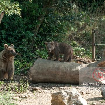 Ours brun de Sibérie et son ourson / Zoo de Montpellier / Occitanie - Réf : VQA1-19-0031 (Q2)