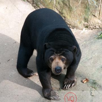 Ours malais / Zoo de Trégomeur / Bretagne - Réf : VQA1-19-0032