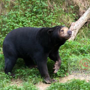 Ours malais / Zoo de Trégomeur / Bretagne - Réf : VQA1-19-0035 (Q2)