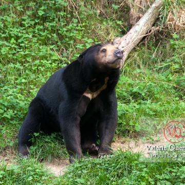 Ours malais / Zoo de Trégomeur / Bretagne - Réf : VQA1-19-0036 (Q2)