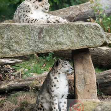 Panthères des neiges / Zoo de Pont-Scorff / Bretagne - Réf : VQA1-21-0010 (Q1)