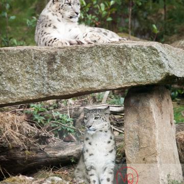 Panthères des neiges / Zoo de Pont-Scorff / Bretagne - Réf : VQA1-21-0011 (Q1)