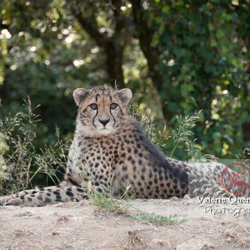 Guépard / Zoo de Montpellier / Occitanie - Réf : VQA1-22-0026 (Q2)