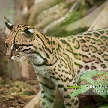 Oncille / Zoo de Montpellier / Occitanie - Réf : VQA1-22-0028 (Q2)