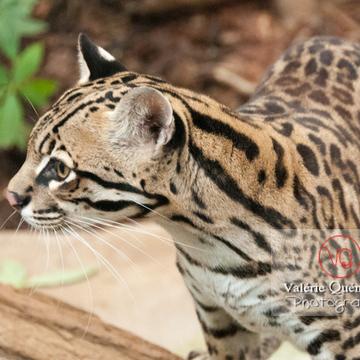 Oncille / Zoo de Montpellier / Occitanie - Réf : VQA1-22-0030 (Q2)