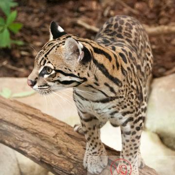 Oncille / Zoo de Montpellier / Occitanie - Réf : VQA1-22-0032 (Q2)