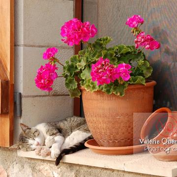 Chat domestique tigré qui dort sur le rebord d'une fenêtre - Réf : VQA1-24-0016 (Q1)