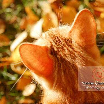 Vue en plongée sur les oreilles d'un chat domestique roux - Réf : VQA1-24-0022 (Q1)