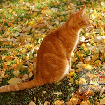Chat roux assis de profil dans les feuilles d'automne - Réf : VQA1-24-0023 (Q1)