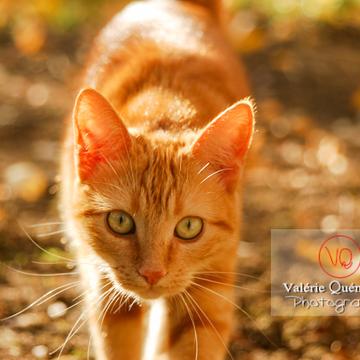 Portrait de chat domestique roux marchant de face - Réf : VQA1-24-0025 (Q1)