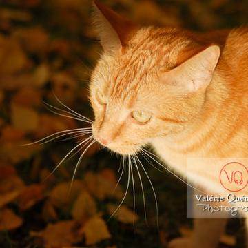 Portrait de chat roux - Réf : VQA1-24-0026 (Q1)