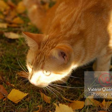 Portrait de chat domestique roux à l'affût - Réf : VQA1-24-0028 (Q1)