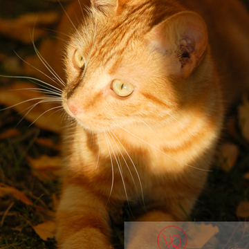 Portrait de chat roux - Réf : VQA1-24-0029 (Q1)