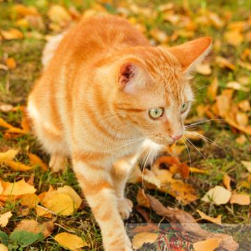 Chat roux assis dans les feuilles d'automne - Réf : VQA1-24-0030 (Q1)