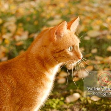 Portrait de chat domestique roux de profil - Réf : VQA1-24-0031 (Q1)