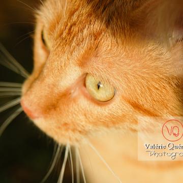 Portrait rapproché d'un chat domestique roux - Réf : VQA1-24-0032 (Q1)