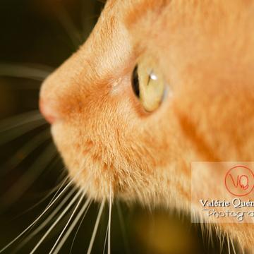 Portrait très rapproché d'un chat domestique roux de profil - Réf : VQA1-24-0034 (Q1)
