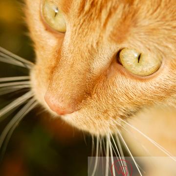 Portrait très rapproché d'un chat domestique roux - Réf : VQA1-24-0036 (Q1)