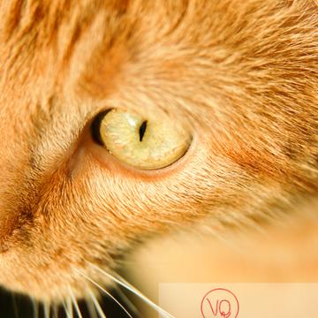 Détail pupille d'un chat domestique roux - Réf : VQA1-24-0037 (Q1)