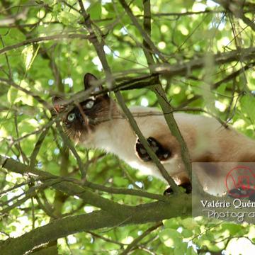 Chat de race Thaï dans un arbre - Réf : VQA1-24-0047 (Q1)