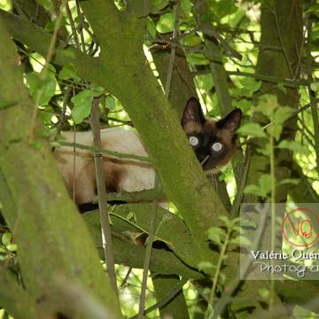 Chat de race Thaï dans un arbre - Réf : VQA1-24-0048 (Q1)