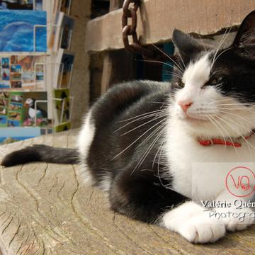 Chat bicolore noir et blanc allongé sur un banc - Réf : VQA1-24-0058 (Q1)
