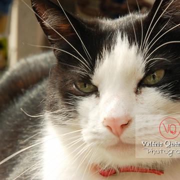 Portrait de chat bicolore noir et blanc - Réf : VQA1-24-0059 (Q1)