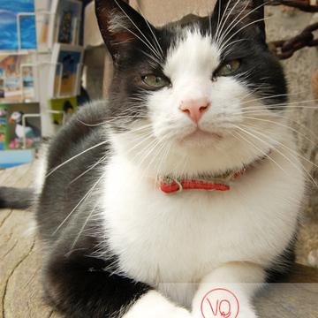 Chat bicolore noir et blanc allongé sur un banc - Réf : VQA1-24-0060 (Q1)
