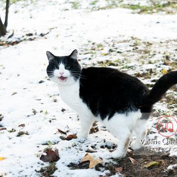 Chat British Shorthair dans la neige en hiver - Réf : VQA1-24-0297 (Q2)