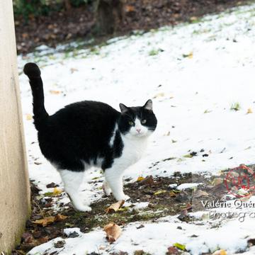 Chat British Shorthair bicolore noir & blanc en hiver - Réf : VQA1-24-0298 (Q2)