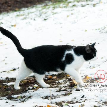 Chat British Shorthair dans la neige en hiver - Réf : VQA1-24-0301 (Q2)