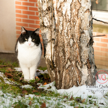 Chat British Shorthair en hiver - Réf : VQA1-24-0303 (Q2)