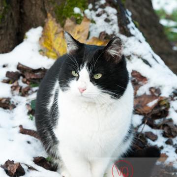 Chat British Shorthair en hiver - Réf : VQA1-24-0306 (Q2)