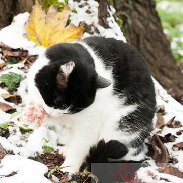Chat British Shorthair bicolore noir & blanc se toilettant en hiver - Réf : VQA1-24-0311 (Q2)