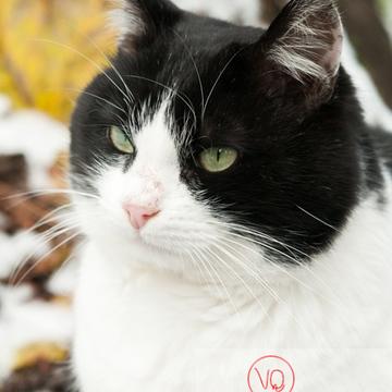 Portrait d'un chat British Shorthair bicolore noir & blanc - Réf : VQA1-24-0312( Q2)