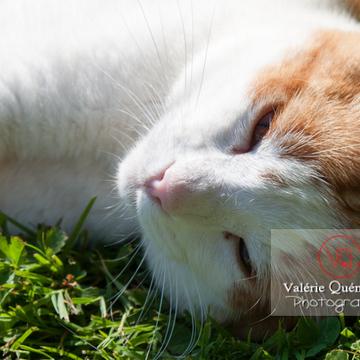 Chat bicolore roux siestant au soleil - Réf : VQA1-24-0325 (Q2)