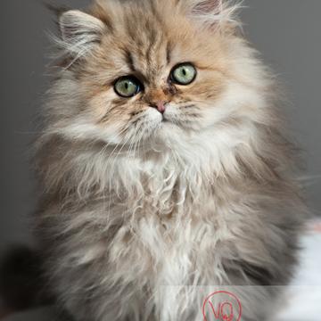 Portrait d'un chaton persan - Réf : VQA1-24-0331 (Q2)