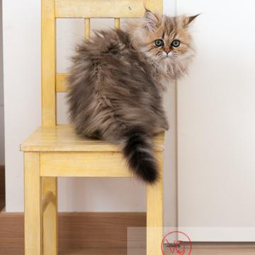 Chaton persan sur une chaise - Réf : VQA1-24-0332 (Q2)