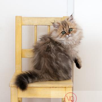 Chaton persan sur une chaise - Réf : VQA1-24-0333 (Q2)