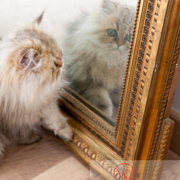 Chaton persan devant un miroir - Réf : VQA1-24-0341 (Q2)