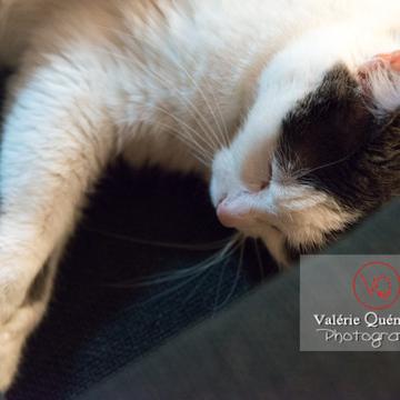 Portrait d'un chat bicolore noir & blanc qui dort - Réf : VQA1-24-0382 (Q3)