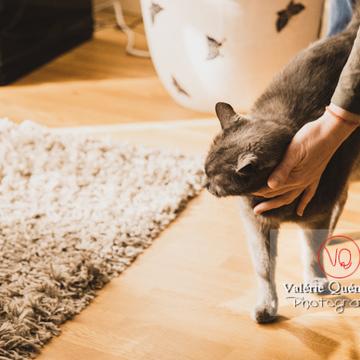 Caresse d'un chat domestique bleu (gris) - Réf : VQA1-24-0830 (Q3)