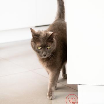 Chat domestique bleu (gris) attendant sa pâtée - Réf : VQA1-24-0835 (Q3)